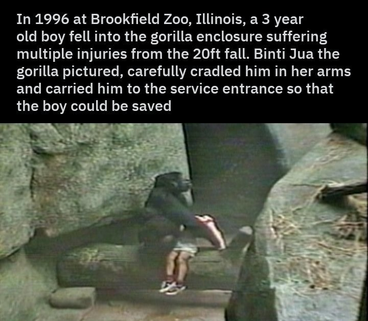 wholesome animal meme - Bouldering - In 1996 at Brookfield Zoo, Illinois, a 3 year old boy fell into the gorilla enclosure suffering multiple injuries from the 20ft fall. Binti Jua the gorilla pictured, carefully cradled him in her arms and carried him to the service entrance so that the boy could be saved