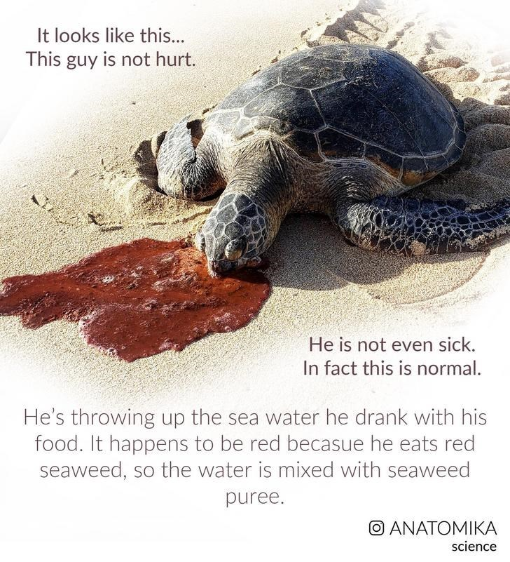 Sea turtle - It looks like this... This guy is not hurt. He is not even sick. In fact this is normal He's throwing up the sea water he drank with his food. It happens to be red becasue he eats red seaweed, so the water is mixed with seaweed puree. O ANATOMIKA science