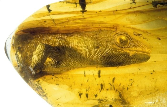 54 million year old gecko preserved in amber