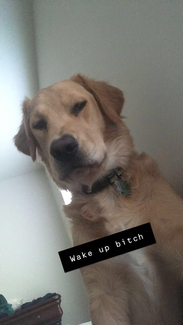 """Funny photo of a cute golden retriever saying, """"Wake up bitch"""""""