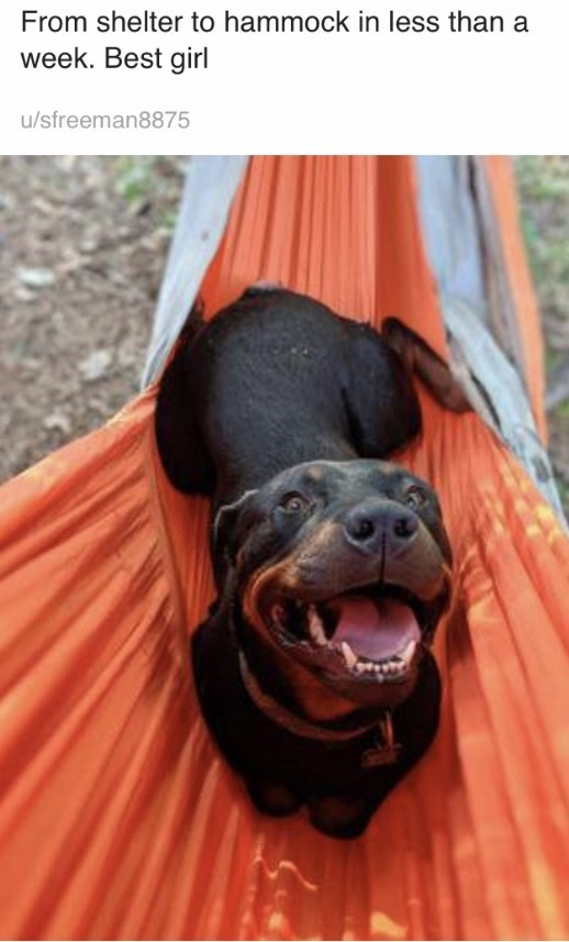 Dog breed - From shelter to hammock in less than a week. Best girl u/sfreeman8875