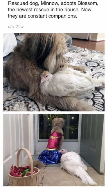 Feather - Rescued dog, Minnow, adopts Blossom the newest rescue in the house. Now they are constant companions. u/b12ftw