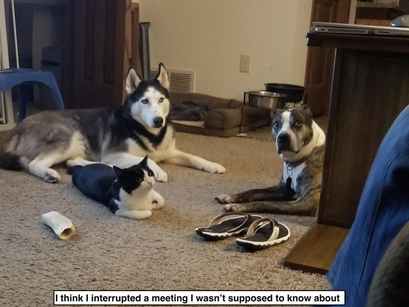 """Funny meme that reads, """"I think I interrupted a meeting I wasn't supposed to know about"""" below a photo of two dogs and a cat who look like they're having a meeting"""