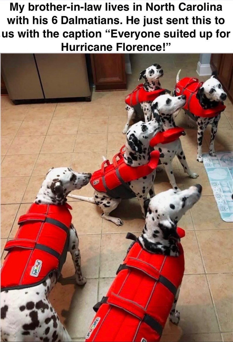 """Dalmatian - My brother-in-law lives in North Carolina with his 6 Dalmatians. He just sent this to us with the caption """"Everyone suited up for Hurricane Florence!"""" Pu ol"""