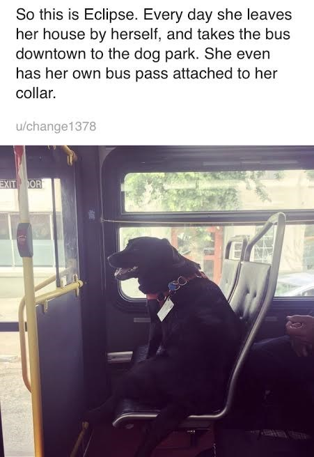 Transport - So this is Eclipse. Every day she leaves her house by herself, and takes the bus downtown to the dog park. She even has her own bus pass attached to her collar. u/change1378 EXIT OR