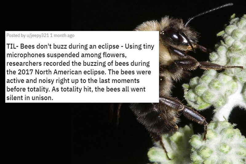 Insect - Posted by u/jeepy321 1 month ago TIL- Bees don't buzz during an eclipse - Using tiny microphones suspended among flowers, researchers recorded the buzzing of bees during the 2017 North American eclipse. The bees were active and noisy right up to the last moments before totality. As totality hit, the bees all went silent in unison