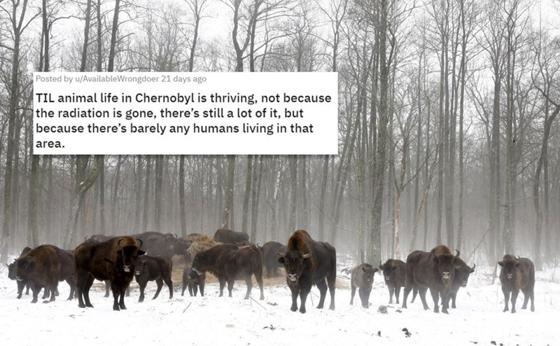 Herd - Posted by u/AvailableWrongdoer 21 days ago TIL animal life in Chernobyl is thriving, not because the radiation is gone, there's still a lot of it, but because there's barely any humans living in that area