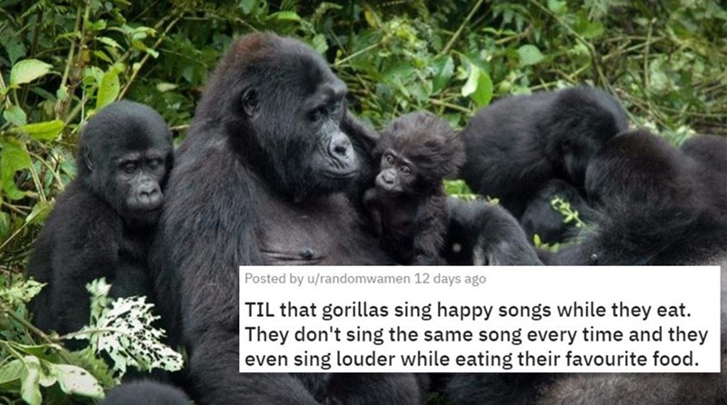 Mammal - Posted by u/randomwamen 12 days ago TIL that gorillas sing happy songs while they eat. Th don't sing the same song every time and they even sing louder while eating their favourite food