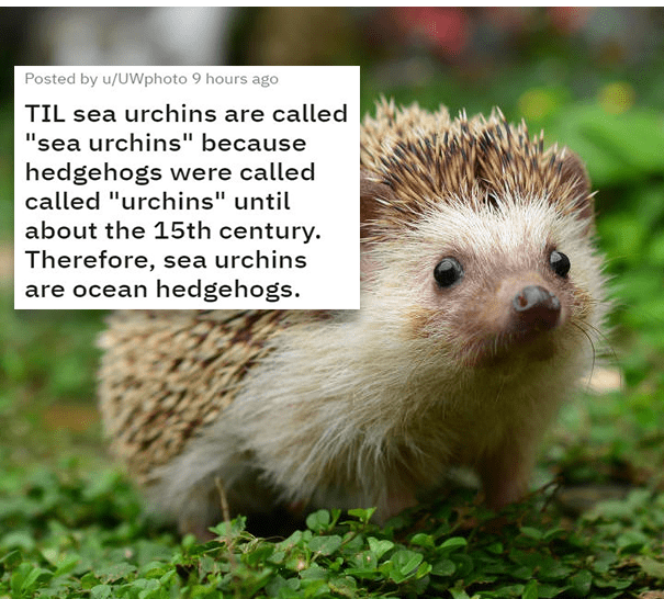 """Erinaceidae - Posted by u/UWphoto 9 hours ago TIL sea urchins are called """"sea urchins"""" because hedgehogs were called called """"urchins"""" until about the 15th century. Therefore, sea urchins are ocean hedgehogs."""