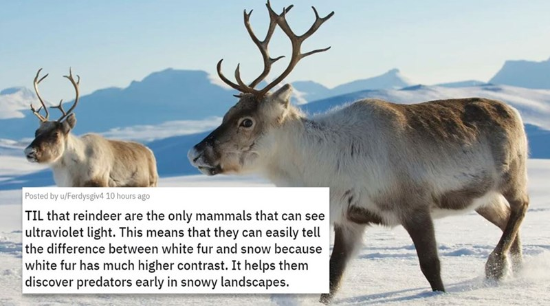 Reindeer - Posted by u/Ferdysgiv4 10 hours ago TIL that reindeer are the only mammals that can see ultraviolet light. This means that they can easily tell the difference between white fur and snow because white fur has much higher contrast. It helps them discover predators early in snowy landscapes.