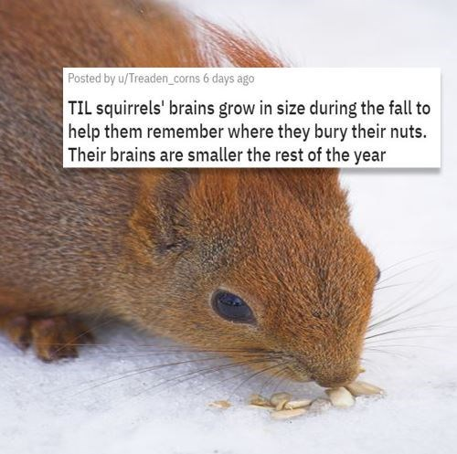 Adaptation - Posted by u/Treaden_corns 6 days ago TIL squirrels' brains grow in size during the fall to help them remember where they bury their nuts. Their brains are smaller the rest of the year