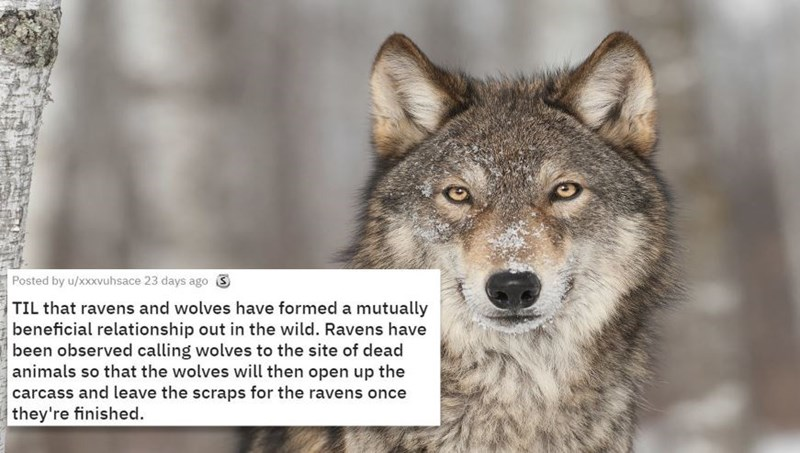 Mammal - Posted by u/xxxvuhsace 23 days ago TIL that ravens and wolves have formed a mutually beneficial relationship out in the wild. Ravens have been observed calling wolves to the site of dead animals so that the wolves will then open up the carcass and leave the scraps for the ravens once they're finished.