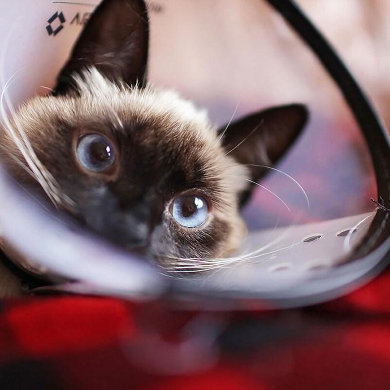 cone shame - Cat - A