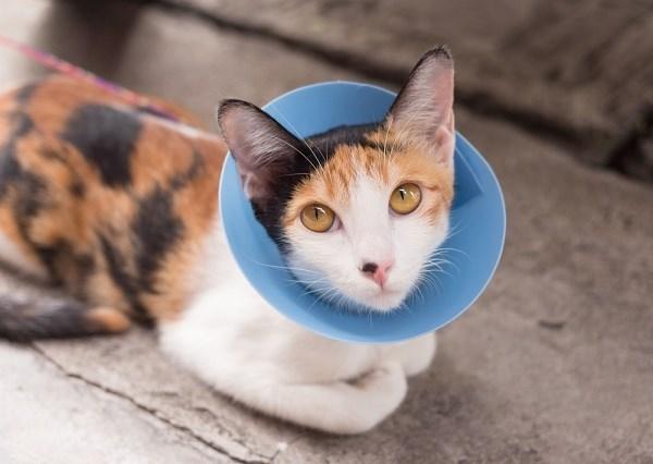 cone shame - Cat