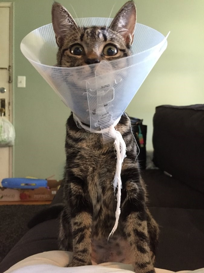 cone shame - Cat - PEPERS