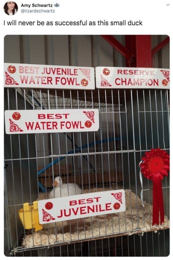 Text - Amy Schwartz @lizardschwartz I will never be as successful as this small duck BEST JUVENILE WATER FOWL RESERVE CHAMPION BEST WATER FOWL BEST JUVENILE