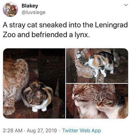 Cat - Blakey @luvsiege A stray cat sneaked into the Leningrad Zoo and befriended a lynx 2:28 AM Aug 27, 2019 Twitter Web App