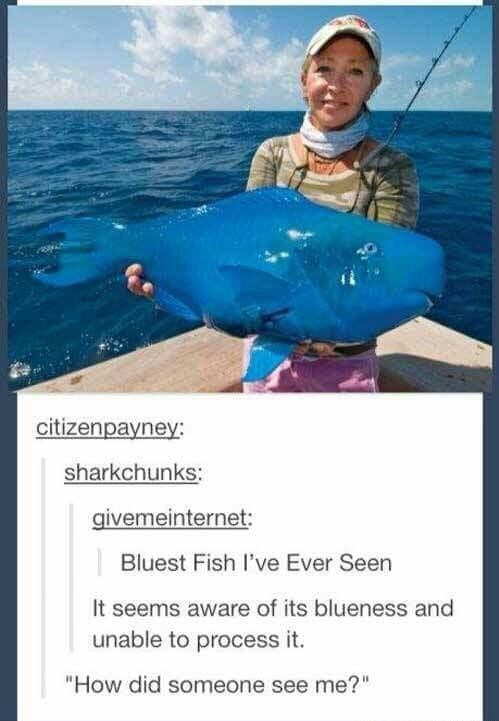 """meme - Recreation - citizenpayney: sharkchunks: givemeinternet: Bluest Fish I've Ever Seen It seems aware of its blueness and unable to process it. """"How did someone see me?"""""""
