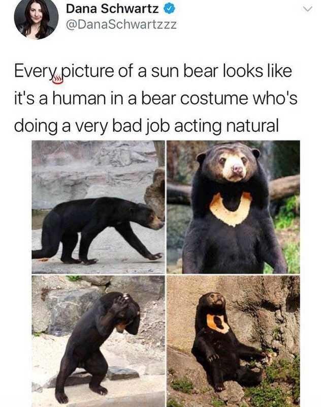 animal meme - Sun bear - Dana Schwartz @DanaSchwartzzz Every.picture of a sun bear looks like it's a human ina bear costume who's doing a very bad job acting natural