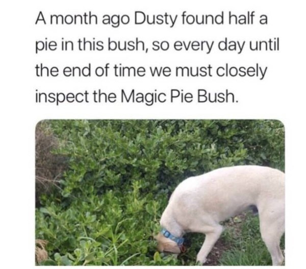 animal meme - Canidae - A month ago Dusty found half a pie in this bush, so every day until the end of time we must closely inspect the Magic Pie Bush.