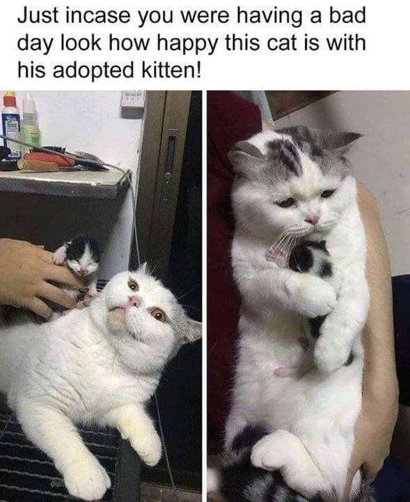 Cat - Just incase you were having a bad day look how happy this cat is with his adopted kitten!