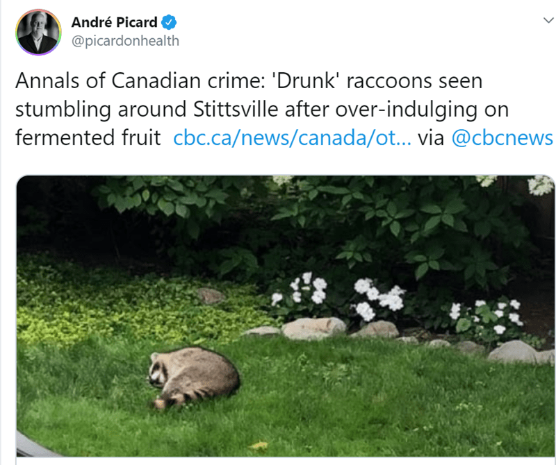 Grass - André Picard @picardonhealth Annals of Canadian crime: 'Drunk' raccoons seen stumbling around Stittsville after over-indulging on fermented fruit cbc.ca/news/canada/ot... via @cbcnews
