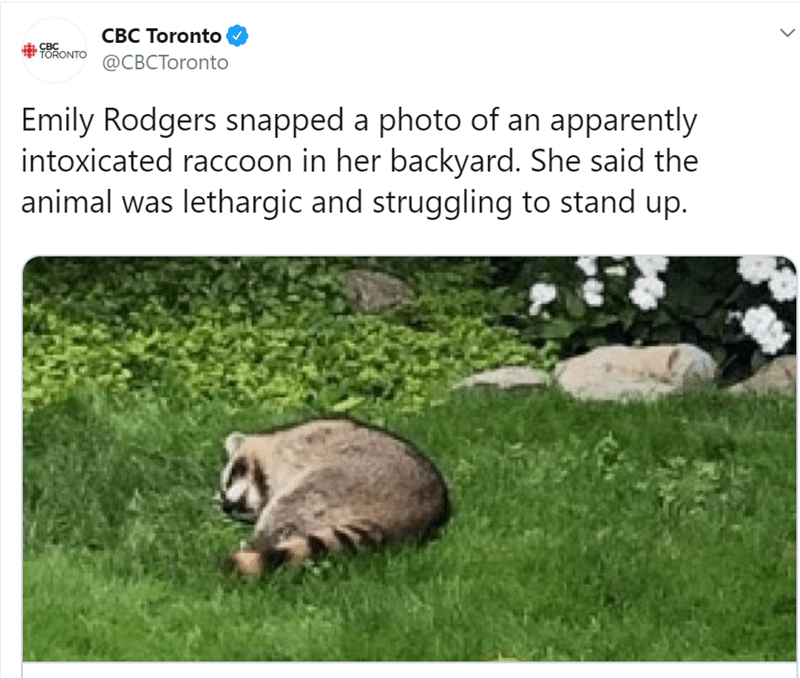Adaptation - CBC Toronto ORONTO CBCToronto CBC Emily Rodgers snapped a photo of an apparently intoxicated raccoon in her backyard. She said the animal was lethargic and struggling to stand up.