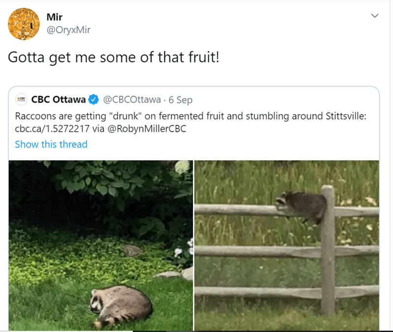 "Adaptation - Mir @OryxMir Gotta get me some of that fruit! @CBCOttawa 6 Sep CBC Ottawa CBC oTTAw Raccoons are getting ""drunk"" on fermented fruit and stumbling around Stittsville: cbc.ca/1.5272217 via @RobynMillerCBC Show this thread >"