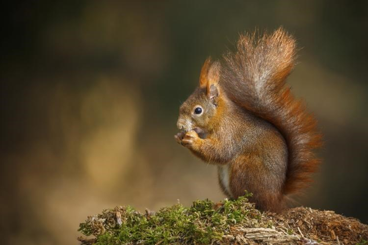 red UK squirrel sitting on moss eating nut