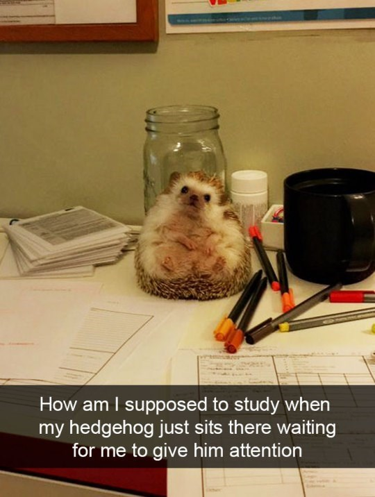 Dog - How am I supposed to study when my hedgehog just sits there waiting for me to give him attention
