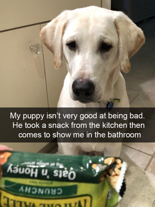 Dog breed - My puppy isn't very good at being bad. He took a snack from the kitchen then comes to show me in the bathroom Qats 'n Honey CRUNCHY