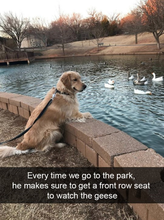 Dog - Every time we go to the park, he makes sure to get a front row seat to watch the geese