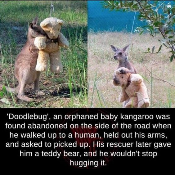 Adaptation - 'Doodlebug', an orphaned baby kangaroo was found abandoned on the side of the road when he walked up to a human, held out his arms, and asked to picked up. His rescuer later gave him a teddy bear, and he wouldn't stop hugging it
