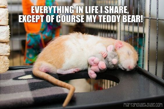 Rat - EVERYTHING IN LIFE ISHARE EXCEPT OF COURSE MY TEDDY BEAR! martumousChousC.com