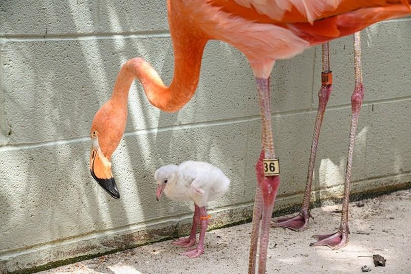 Flamingo - 36