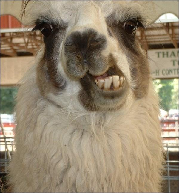 Llama - THA T H CONT