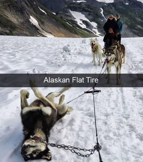 Canidae - Alaskan Flat Tire