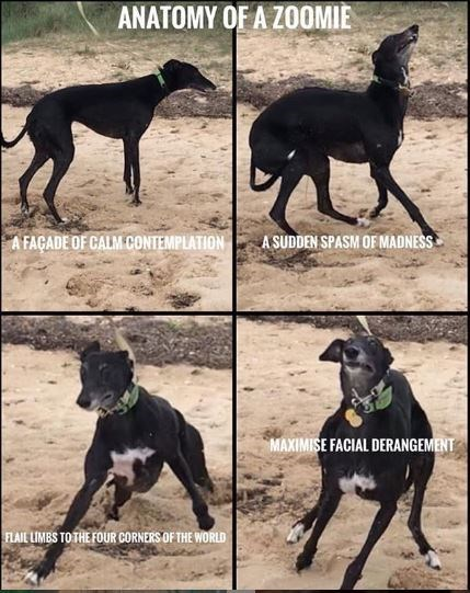 Dog - ANATOMY OF A ZOOMIE A FAÇADE OF CALM CONTEMPLATION ASUDDEN SPASM OF MADNESS MAXIMISE FACIAL DERANGEMENT FLAIL LIMBS TO THE FOUR CORNERS OF THE WORLD