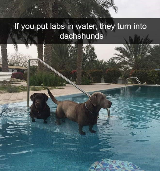 Dog - If you put labs in water, they turn into dachshunds