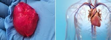 picture 3d printed human heart next to digital picture of heart inside human's body