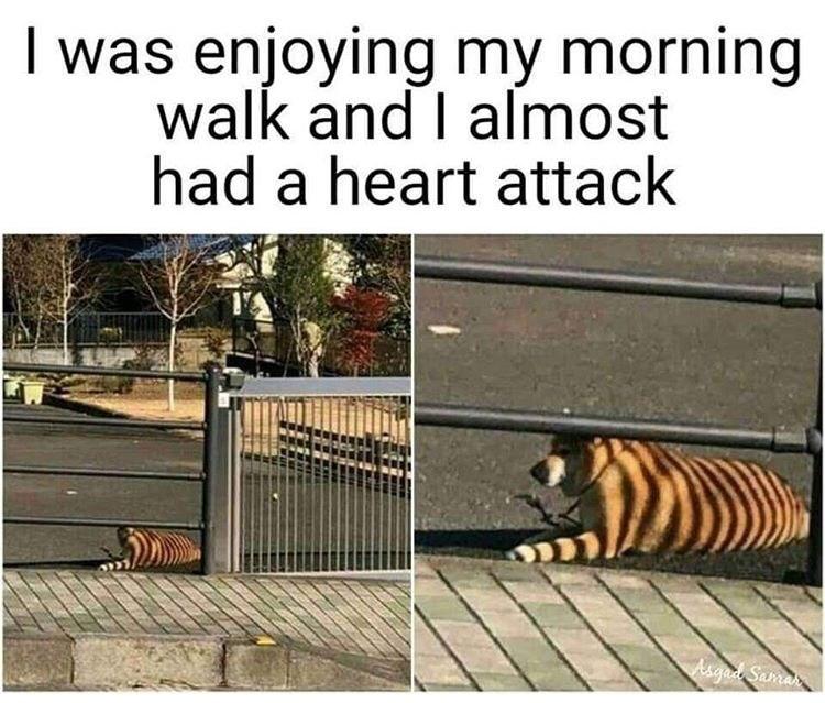 Bengal tiger - I was enjoying my morning walk and I almost had a heart attack Asgai Samran