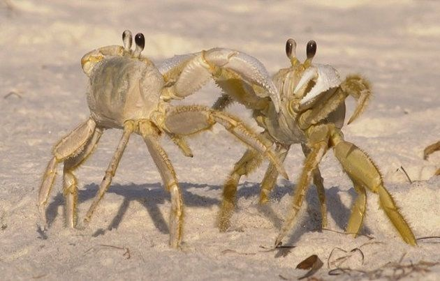 picture two ghost crabs fighting