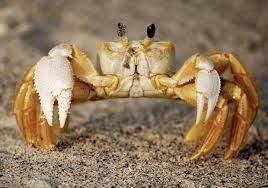 picture ghost crab