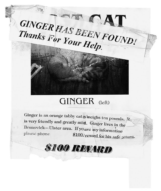 Text - CAT GINGER HAS BEEN FOUND! Thanks For Your Help. GINGER aeft) Ginger is an orange tabby cat aiweighs ten pounds. is very friendly and greatly mied. Ginger lives in the Brunswick Ulster area. If yoave any information s100. reward for his safe retuCi. piease phone SNOO REVARD