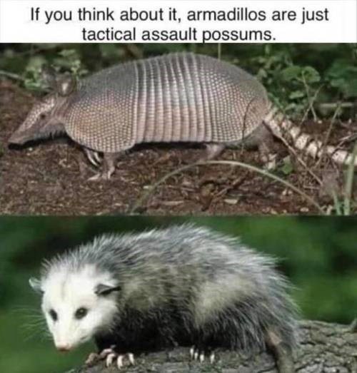 Vertebrate - If you think about it, armadillos are just tactical assault possums.