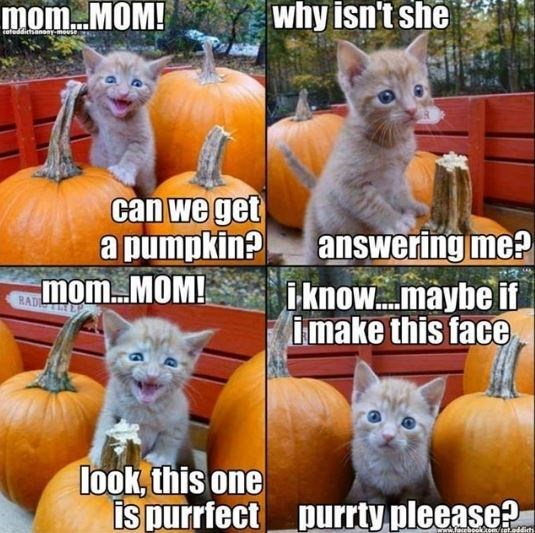 Cat - why isn't she toteddictsanoaymouse can we get apumpkin? MOMMOM! answering me? i-know...maybe if imake this face RAD look, this one is purrfect purrty pleease? ww.faeboukem/cet.oddit
