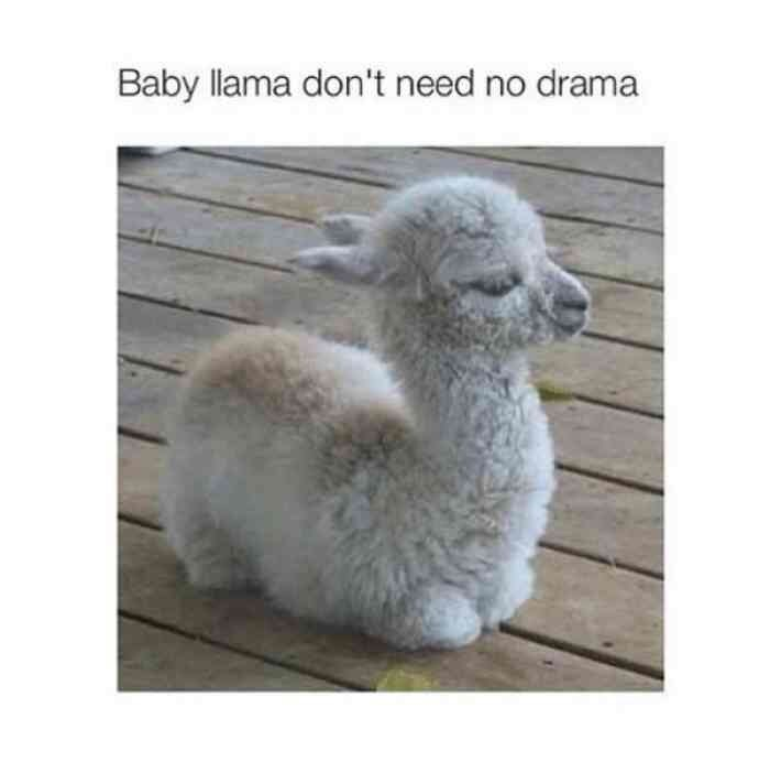 Vertebrate - Baby llama don't need no drama
