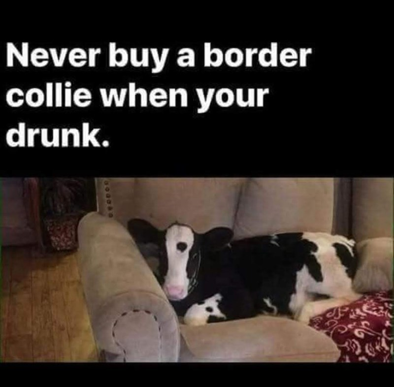 Mammal - Never buy a border collie when your drunk.