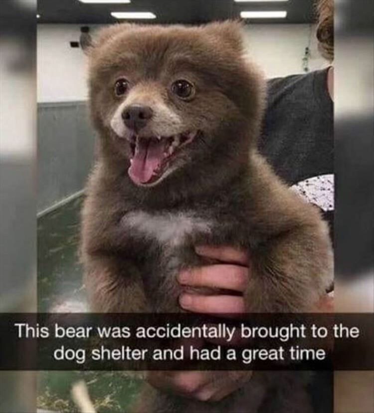 Photo caption - This bear was accidentally brought to the dog shelter and had a great time
