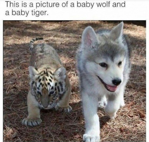 Mammal - This is a picture of a baby wolf and a baby tiger.